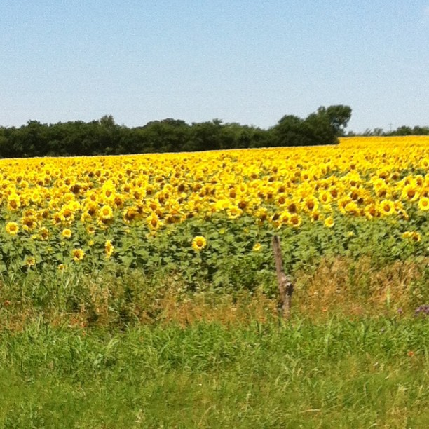 Texas sunflowers